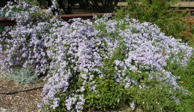 Aster 'Bill's Big Blue' in bloom at the Haven