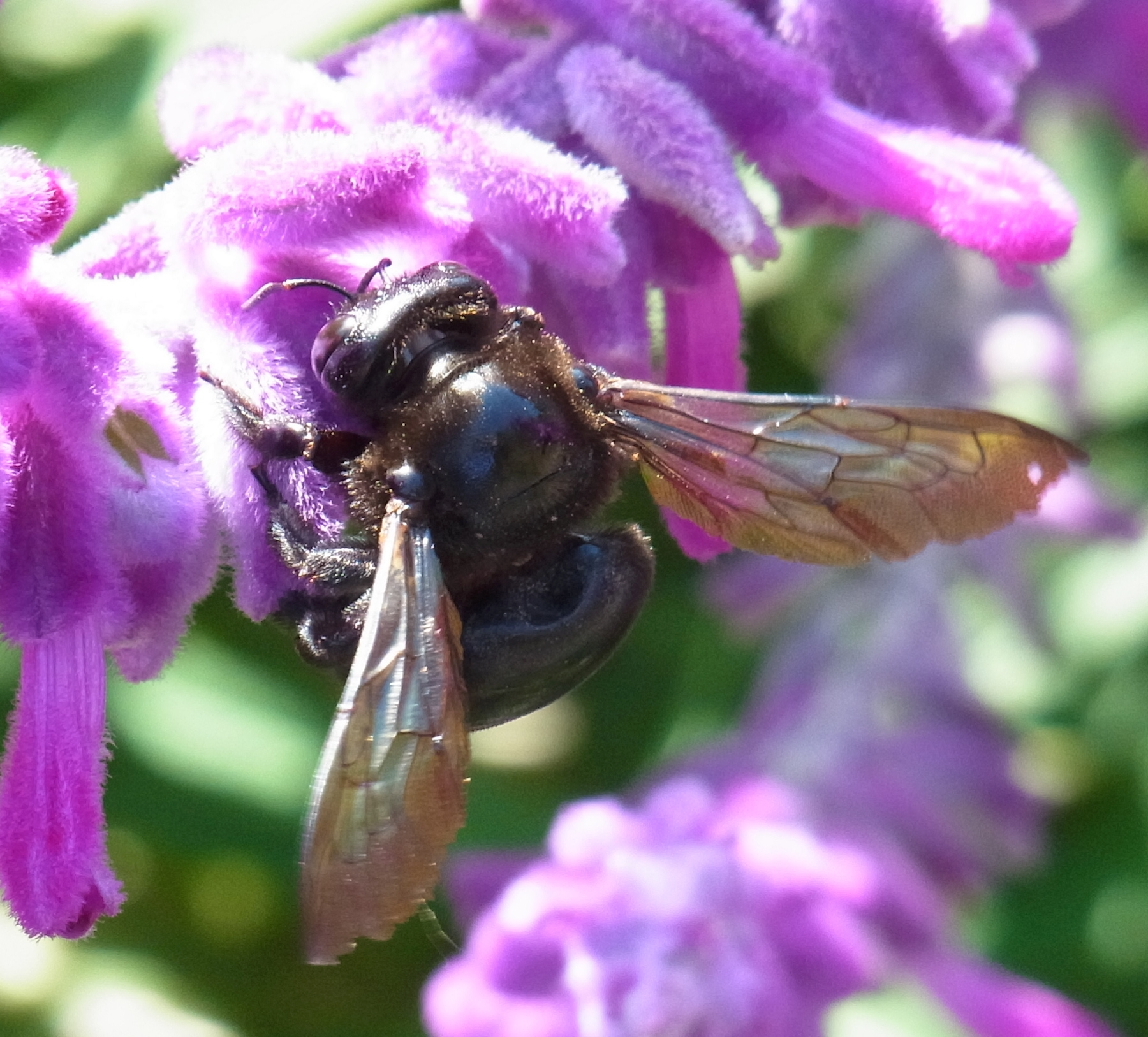 Thank you veterans the red white and blue fall bee garden the female valley carpenter bee on the havens mexican sage in november shes the largest all black bee in the garden her iridescent wings are also a izmirmasajfo