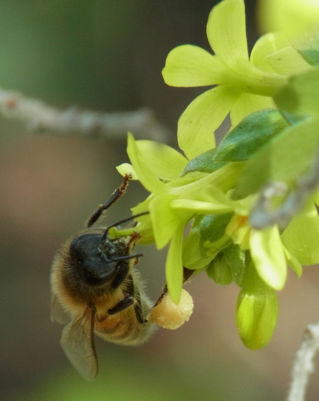 Honey bee on golden currant with a full load of pollen