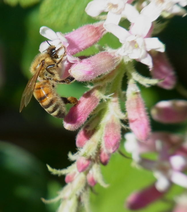 Honey bee nectars on chaparral currant.