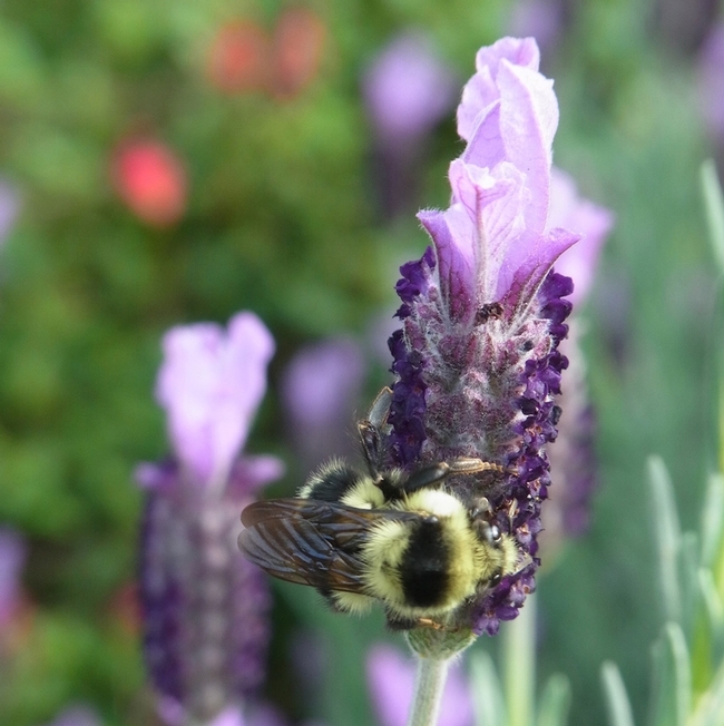 Black-tailed bumble bee queen on Spanish lavender.