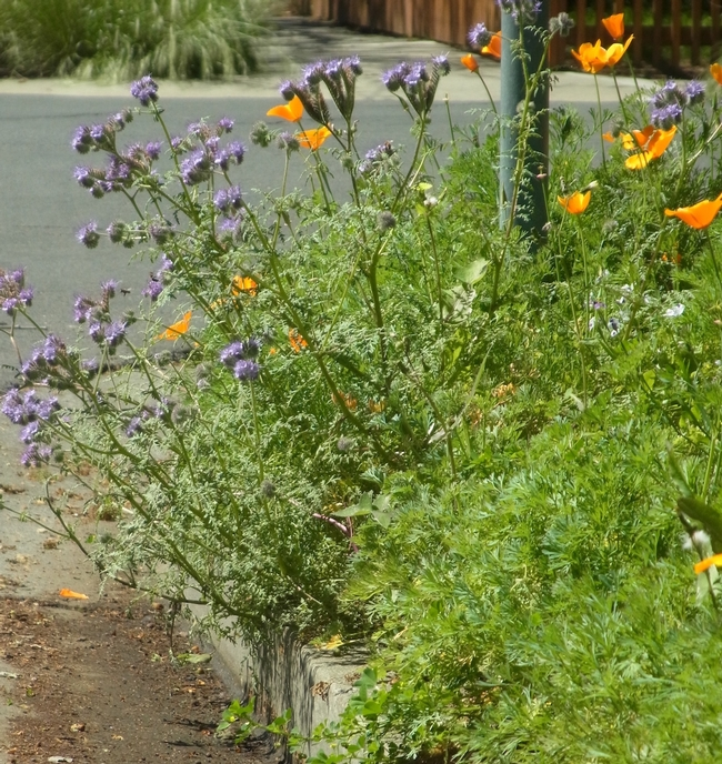 Phacelia and California poppy flowering in a planting strip