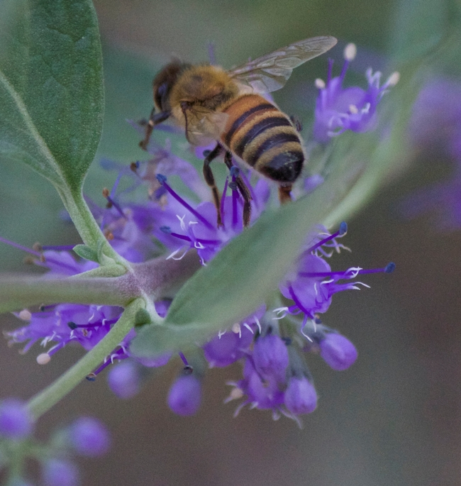 Bluebeard flower with honey bee