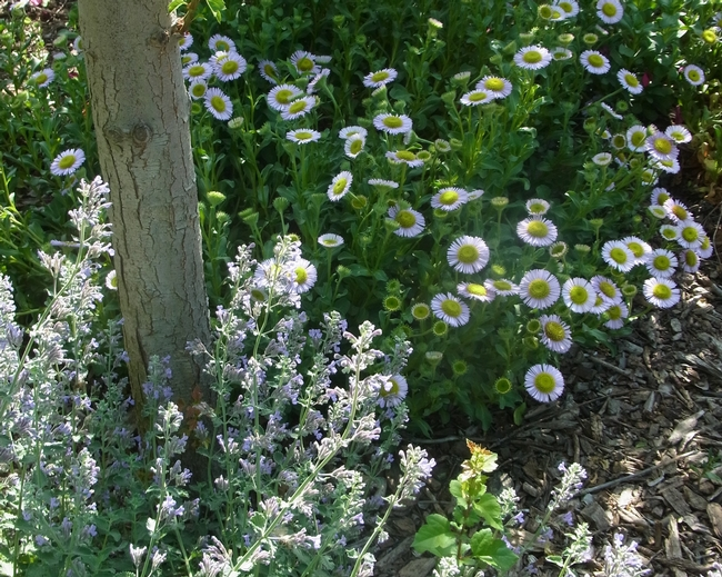 Catmint 'Walker's Low' and 'Bountiful' seaside daisy