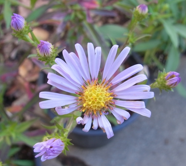 California aster 'Purple Haze'