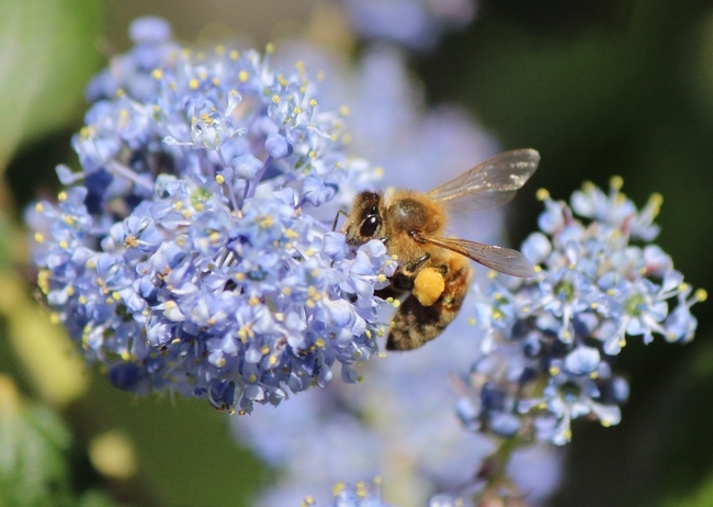 Honey bee collects pollen on 'Ray Hartman' ceanothus