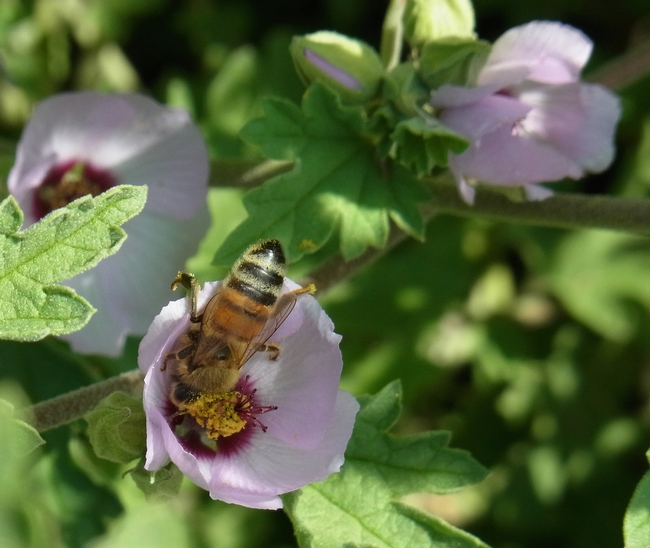 Honey bee nectars on 'Hopley's Lavender' globe mallow