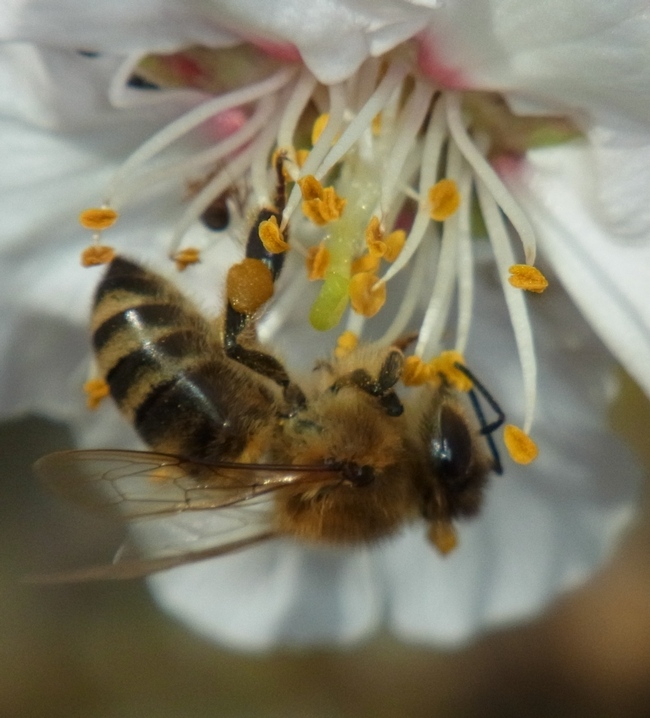 Honey bee on almond