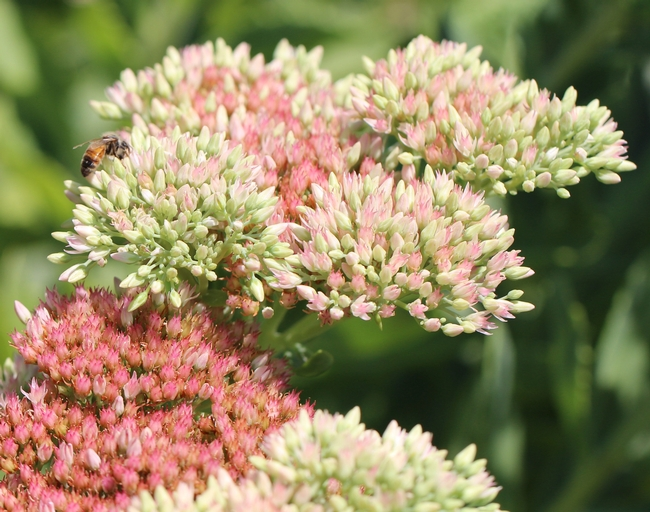 Honey bee on 'Autumn Joy' sedum