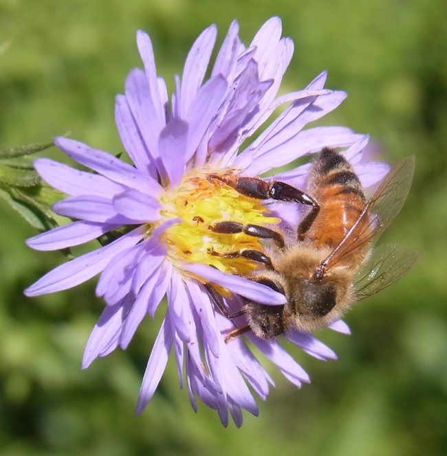 Honey bee on aster 'Bill's Big Blue'