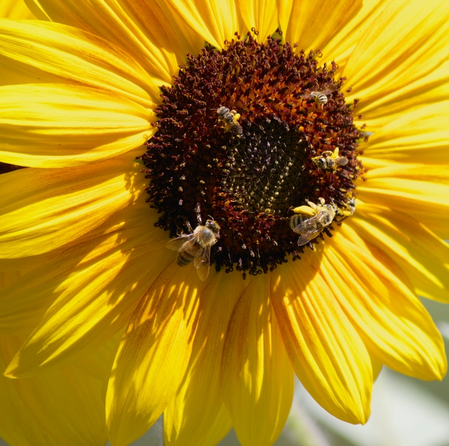 Honey bee, sunflower bee, and sweat bees on sunflower