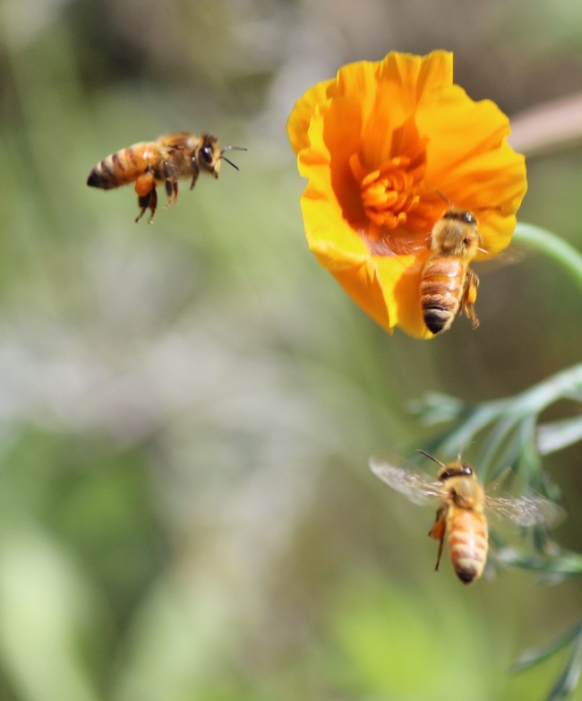Honey bees arrive at California poppy