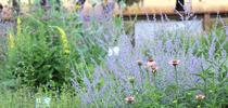 The Haven in mid-June. Russian sage, coneflower, and verbascum provide a feast of pollen and nectar for a variety of bee species. for The Bee Gardener Blog