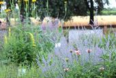 The Haven in mid-June. Russian sage, coneflower, and verbascum provide a feast of pollen and nectar for a variety of bee species.