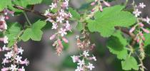Chaparral currant, <I>Ribes malvaceum</i> 'Dancing Tassels' for The Bee Gardener Blog