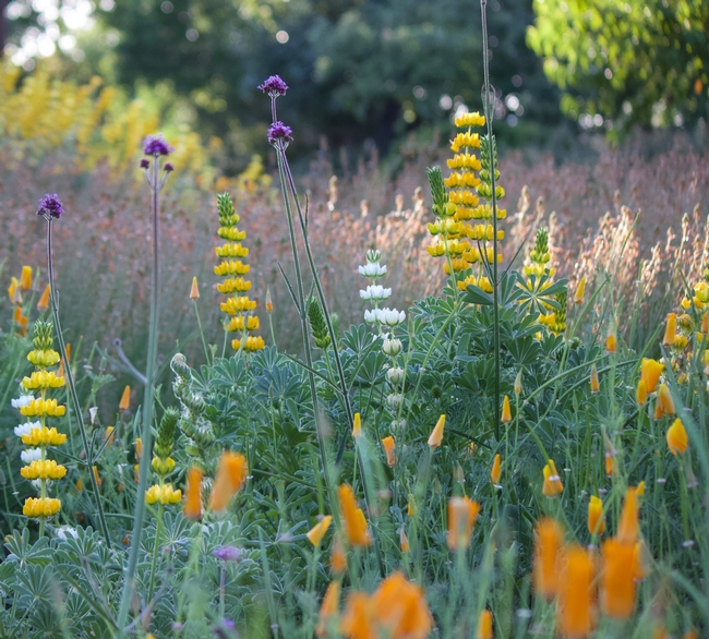 California native annual wildflowers, such as golden lupine and California poppy are great March blooming plants for the bee garden. The purple flower is the non-native perennial, tall verbena.