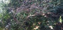branch dieback on clementine for Topics in Subtropics Blog