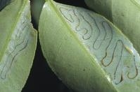 leafminer tunnels