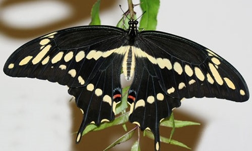 giant swllowtail adult