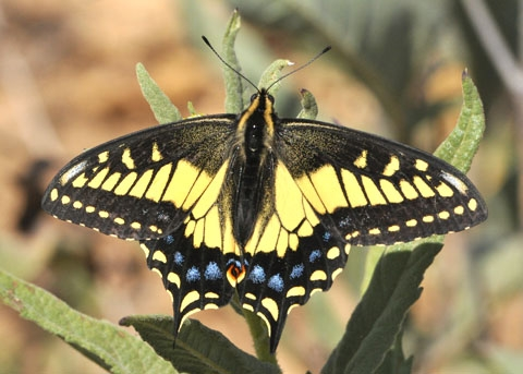 anise swallowtail adult