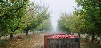 Devoto Orchards Cider orchard for UCCE Sonoma Blog
