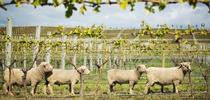 Sheep in Vineyard for UCCE Sonoma Blog
