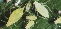 Potato aphid adults and nymphs. Photo Jack Kelly Clark, UC IPM. for UCCE Sonoma Blog