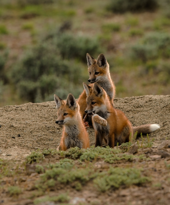 Red Fox pups photo taken by Clyde Elmore (UC Weed Science Specialist emeritus)
