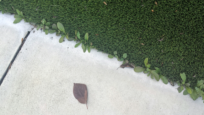 Real weeds in fake turf. Photo credit: L.M. Sosnoskie