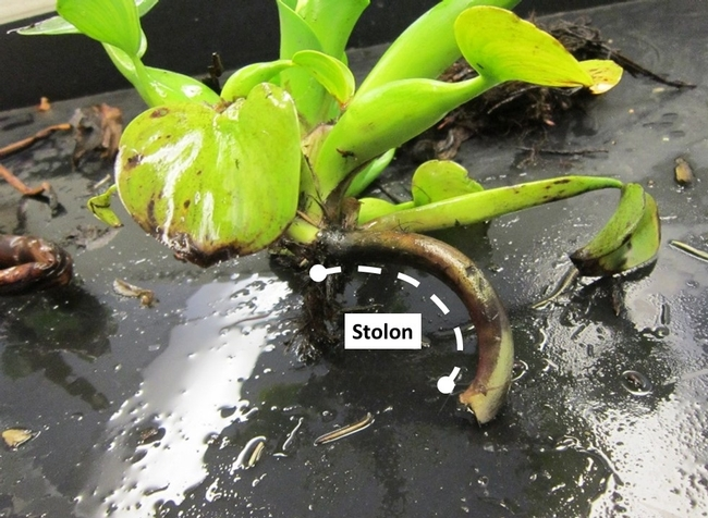 Figure 1. Example of a water hyacinth daughter plant growing from a stolon.