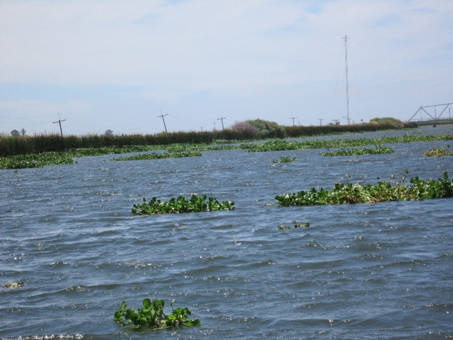 Figure 2. Water hyacinth mats floating near Mildred Island in the Sacramento-San Joaquin Delta, CA.