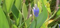 Pickerelweed (Pontederia cordata) for UC Weed Science Blog