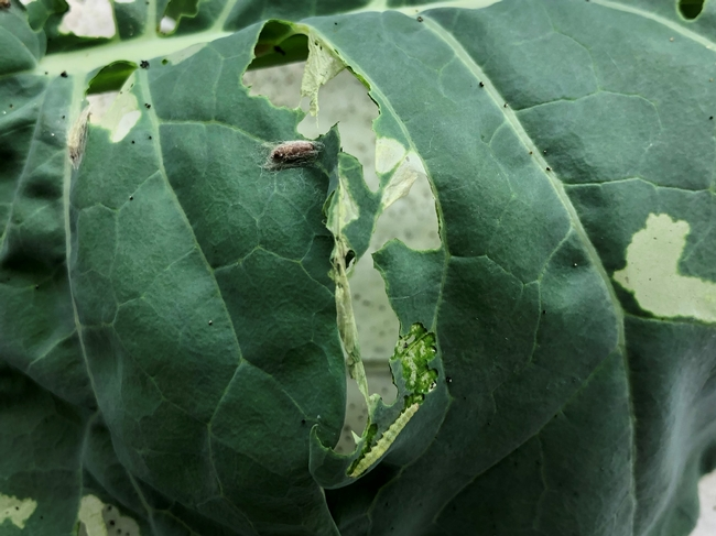 Fig. 2. Brown barrel-like Diadegma pupa (top) and light green diamondback caterpillar (bottom) on a cauliflower leaf inside a rearing container at the UCCE Entomology lab.