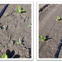 Figure 1. Untreated plot (left) and Pronamide (Kerb at 2.5 pints/A) applied via drip tape (right) 30 days after transplanting of romaine lettuce. Areas most distant from drip tape that supplied herbicide show weed survivorship.