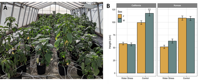 Figure 1. Palmer amaranth female and male plants from California and Kansas populations grown under continuous water-deficit (WD, 25-33%) or control well-watered (WW, 100%) conditions. Visual (A) and quantitative (B) height differences. Two asterisks indicate a significant difference in height between female and male plants grown under different irrigation conditions. Error bars represent 95% confidence intervals.