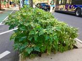 What a long, strange trip: Bumper crop of Datura stramonium, aka Jimsonweed, growing in planting bed on Columbus Ave. Greenway at 93rd St. in NYC. A well-known hallucinogenic plant, it is also fatally toxic when consumed in even tiny amounts. ⁦Adrian Benepe