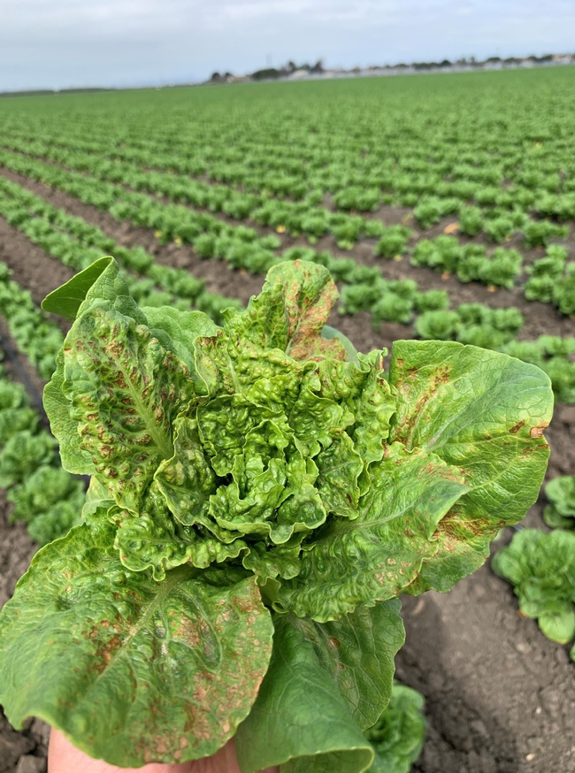 INSV infected romaine lettuce with necrosis on older leaves (photo credit: Daniel Hasegawa).