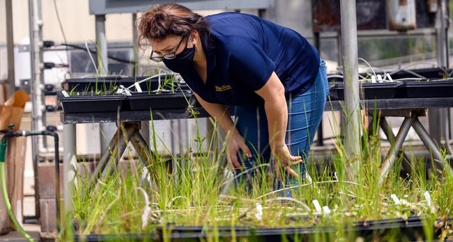 UC Agriculture and Natural Resources Cooperative Extension rice and wild rice advisor Whitney Brim-DeForest takes a look at plants growing on campus. (Karin Higgins/UC Davis)