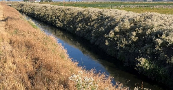 Perennial pepperweed on ditchbank near Tulelake, California