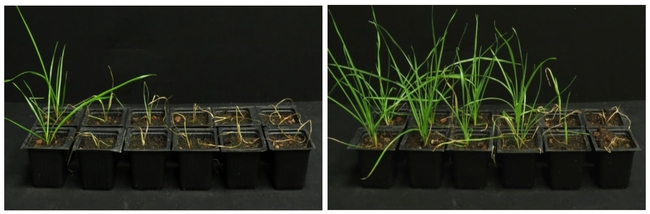Despite increasing doses of diclofop-methyl, this herbicide-sensitive ryegrass thrives in a warmer climate. In each photo, the herbicide is applied in larger amounts going from left to right. On the far left plant, no herbicide is applied. In the left photo, the ryegrass is grown under lower temperatures (50-61 degrees Fahrenheit), whereas in the right photo, the ryegrass is grown under higher temperatures (82-93 degrees Fahrenheit). Visual: Courtesy of Maor Matzrafi