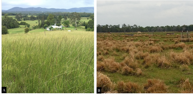 Figure 1. Giant smutgrass infestations in grazinglands located in Australia (A) and Florida (B).