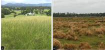 Figure 1. Giant smutgrass infestations in grazinglands located in Australia (A) and Florida (B). for UC Weed Science Blog