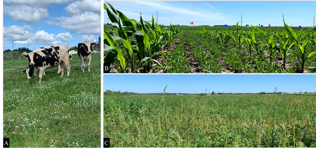 Figure 4. Research projects conducted in Wisconsin in 2019: (A) weed management and clover selectivity to ProClova (florpyrauxifen + 2,4-D), (B) establishment optimization of alfalfa interseeded with corn, and (C) waterhemp management in established alfalfa fields.