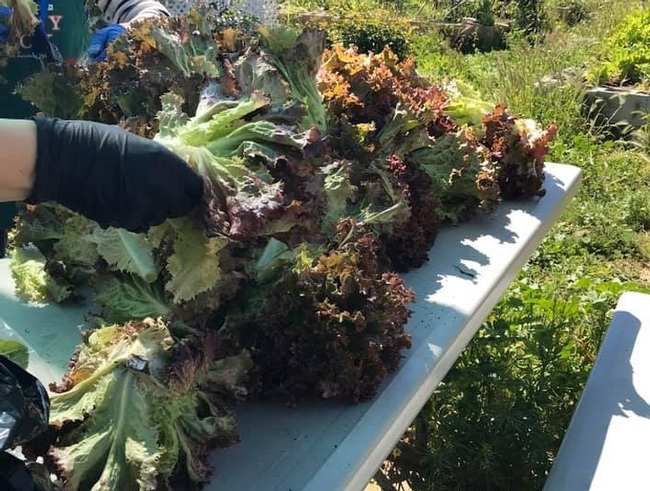 Lettuce recently harvested lays on a table, gloved hands are nearby