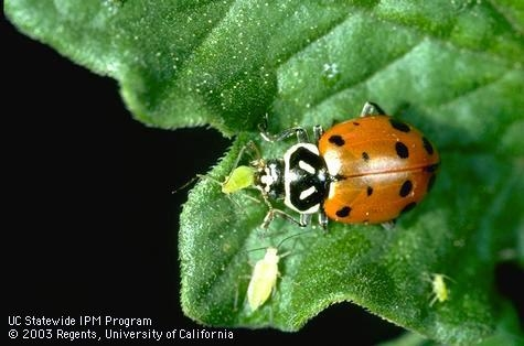 Convergent lady beetle consuming an aphid.