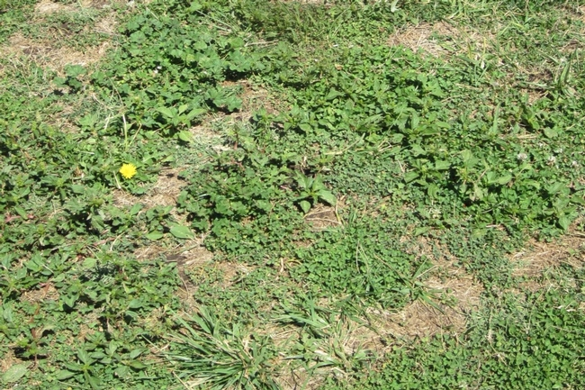 Figure. 1. Some weeds thrive in drought conditions. [Photo by J. Roncoroni]