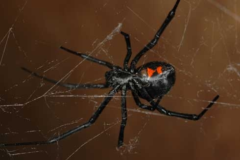 Mature female western black widow spider. [Photo by R. Vetter]