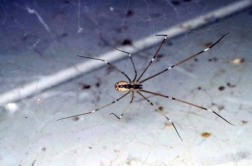 Marbled cellar spider often is confused with brown recluse spider. [Photo by R. Vetter]