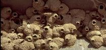 Figure 1. Damage caused by cliff swallows and their nests. for Pests in the Urban Landscape Blog
