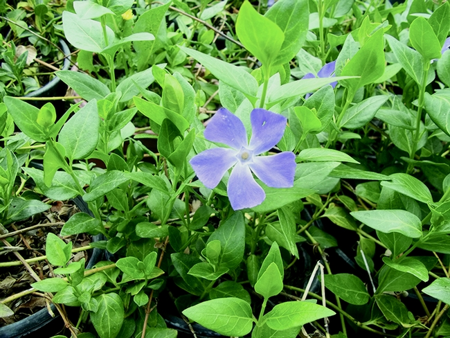 Figure 1. Periwinkle (Vinca major) is a fastgrowing,competitive plant that forms densemats of growth.
